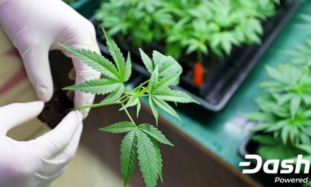 Dash finanziert Cannabisforschung, um die Qualitätssicherung durch Seed-to-Sale-Verfolgung zu verbessern